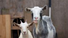 'Chicken Run' de la vida real… Cabra habría ayudado a escapar a decenas de animales de granja