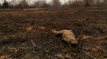 A FONDO-Jaguares quemados y tornados de fuego: incendios de humedales en Brasil son una desoladora advertencia
