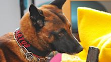 Studie: Hunde können Corona-Infektion erschnüffeln