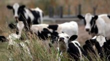 Argentina ranchers kill the fatted cow amid cash crunch, turn to China