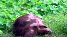 St Helena is home to a 186-year-old gay tortoise called Jonathan
