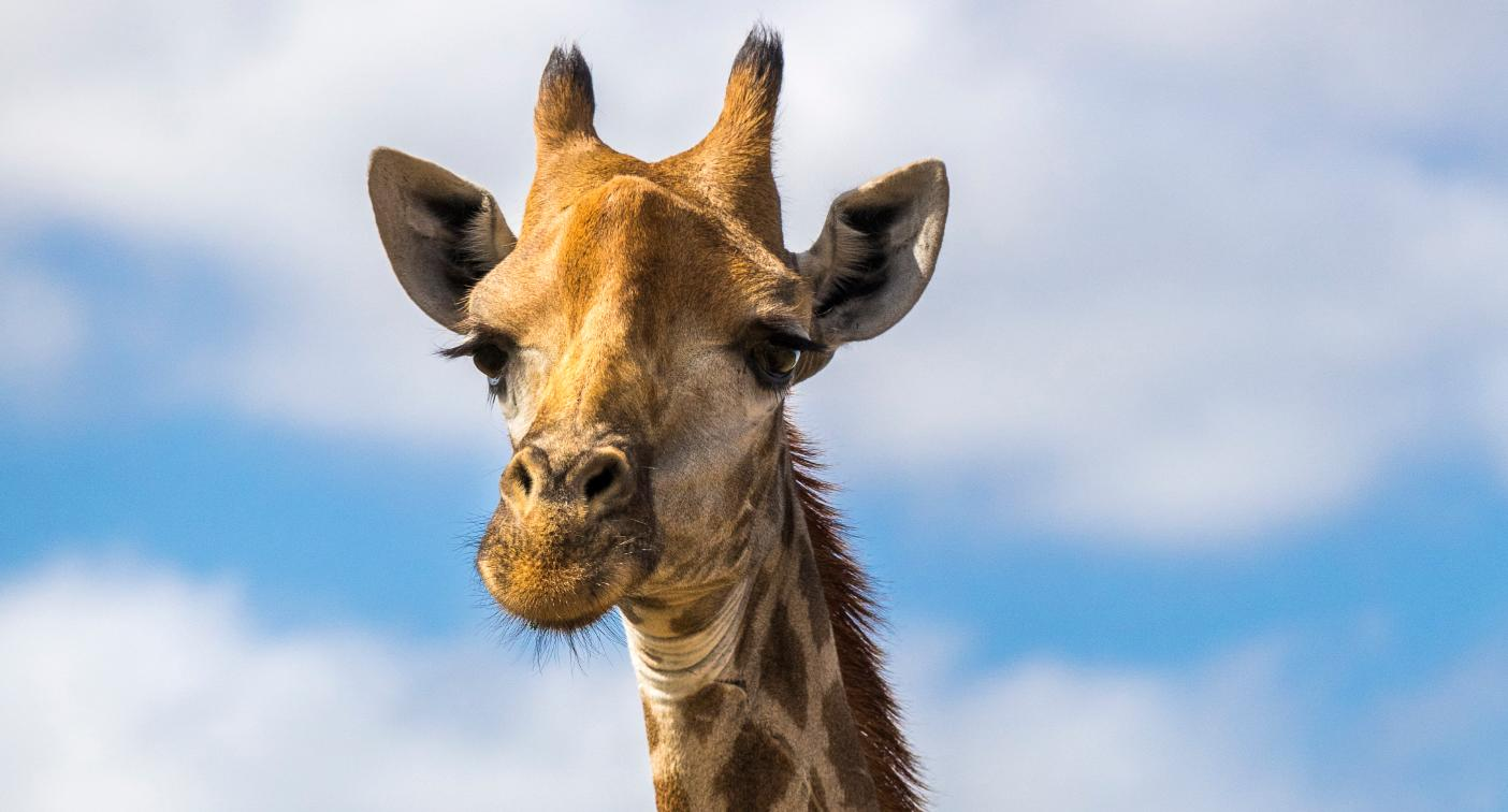 QUIZ: What colour is a giraffe's tongue?