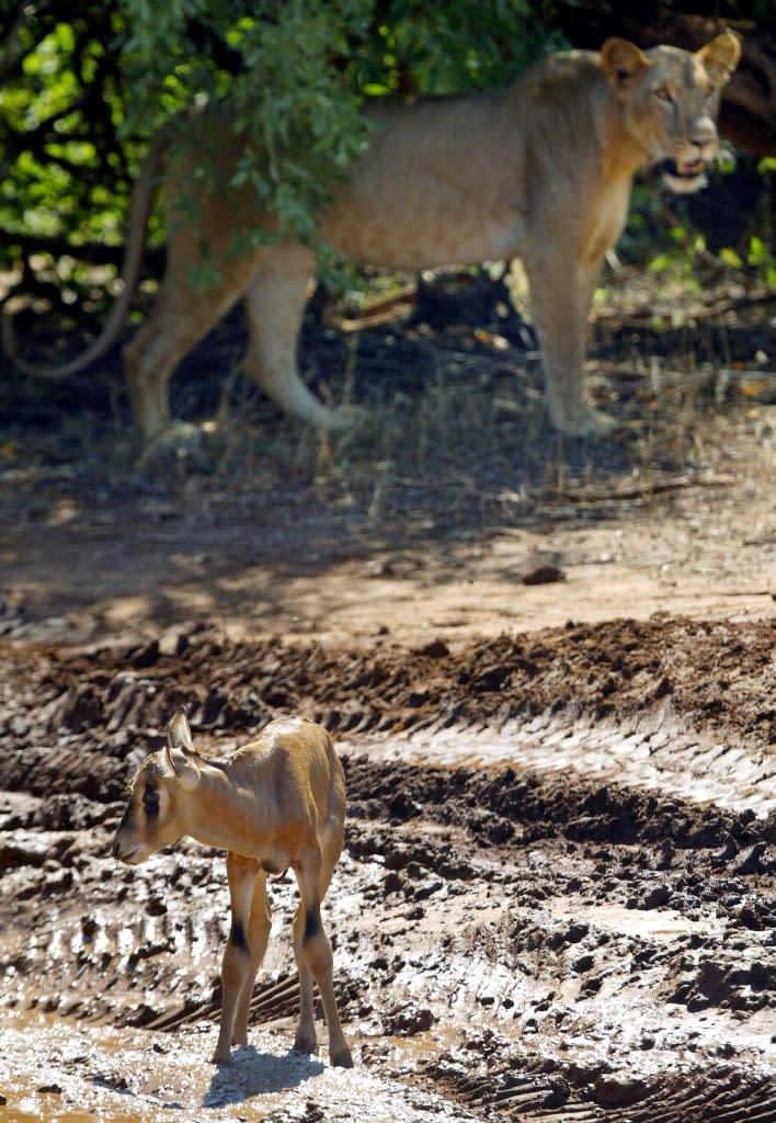 A lioness stands near an oryx at the Samburu National Park in Kenya (AFP Photo/Pedro Ugarte)