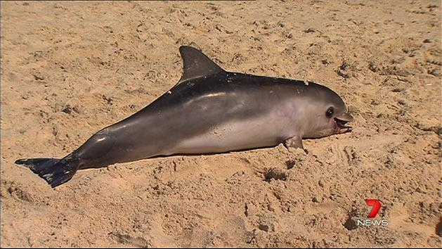 More dolphins wash up dead