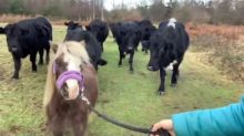 Herd of Cows Surround a Pony in a Field