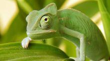 How do chameleons change colour?