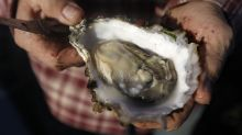 Oysters around the world are under threat from a deadly herpes virus