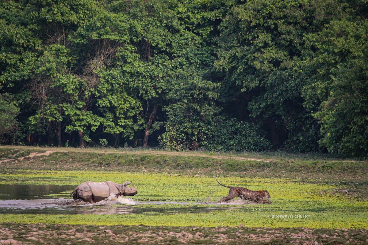 Close Encounter in the Wild: Hair-raising Video of a Rhino Chasing Away Tiger in Kaziranga