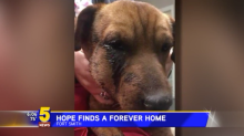 A 4-year-old dog that survived 3 gunshots to the face finds a forever home: 'It seems like a perfect match'