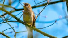 Country diary: we are down to our last male nightingale