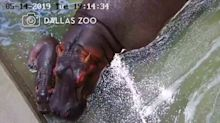 Meet this happy hippo baby from the Dallas Zoo