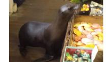 Shopaholic sea lion gets some shopping done in a gift store