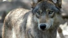 Man in his 70s mauled by wolf in northern B.C. flown to Vancouver with 'significant injuries'
