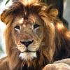 Lioness suffocates father of her three cubs at zoo