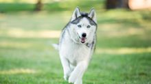 13 Wolf-Like Dog Breeds That Make Surprisingly Gentle Pets