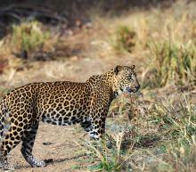 Sri Lanka arrests villagers for killing leopard