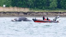 Humpback whale that thrilled crowds in Montreal reported dead in St. Lawrence