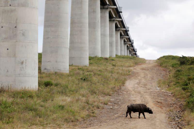 A buffalo walks under a bridge of the Standard Gauge Railway (SGR) line, inside the Nairobi National Park in Kenya