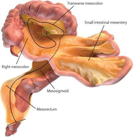 Digital representation of the small and large intestines and associated mesentery.