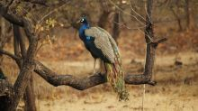 Climate change: Increasing presence of peafowl across Kerala piques scientists' interest