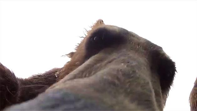 RAW: Grizzly Bear eats GoPro