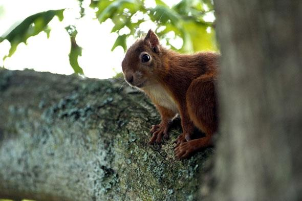 """<p> """"Although they can be spotted throughout the year, these bushy-tailed creatures come to life as winter recedes and can be spotted foraging on the ground or roaming through the treetops.""""</p> <p class=""""p1""""> <strong>Top spot for red squirrel viewing:</strong>BrownseaIsland, Dorset.This island sanctuary, located within Poole Harbour and only accessible by boat, is a haven for wildlife. Thriving natural habitats provide great wildlife spotting potential, particularly for the often elusive rare red squirrel.</p> <p class=""""p1""""> <strong>Other places to seek out red squirrels:</strong>Formby, Lancashire;Mount Stewart, Co. Down;Wallington, Northumberland.</p>"""