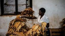 Coup de tabac sur les plantations du Malawi