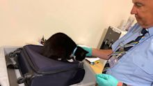 Couple's Cat Stows Away in Their Luggage Before Being Discovered by Airport Security