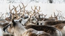 In Sweden's Arctic, ice atop snow leaves reindeer starving