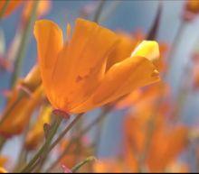 Super bloom creates a poppy 'apocalypse' in Southern California city
