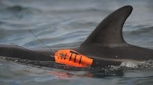 Biologists tag dolphins with cutting-edge cameras to study their secret behaviors