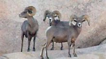 Drought-stricken Joshua Tree closes trail to hikers to save thirsty bighorn sheep