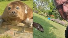 Woman wakes to find cheeky seal sunbathing in her back garden
