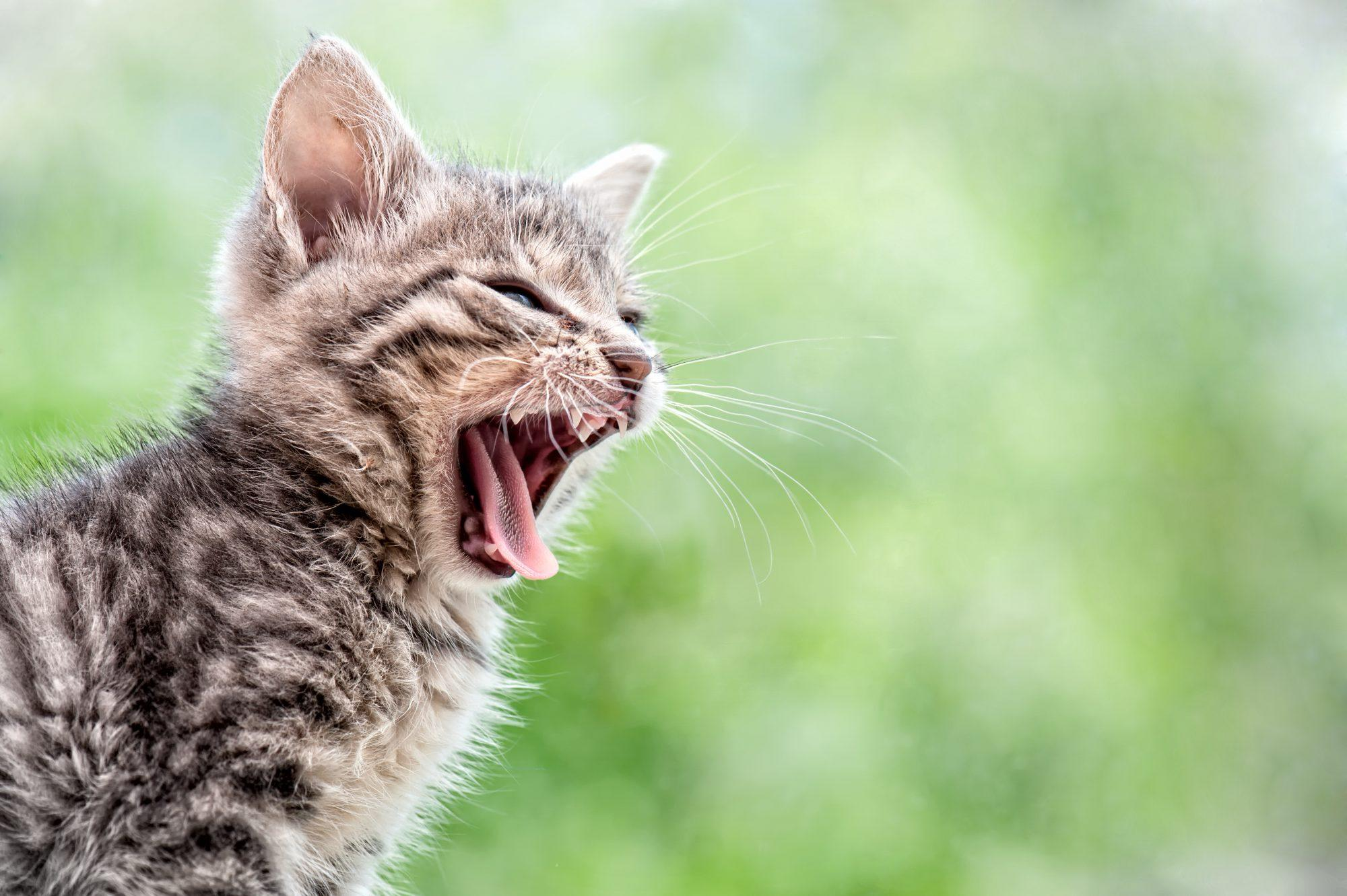 The Most Vocal Cat Breeds