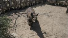Zwei von sechs Spitzmaulnashörnern in Nationalpark im Tschad tot aufgefunden