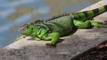 After a human shooting, Florida tempers its advice on hunting invasive iguanas