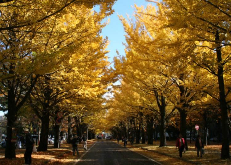 ▲秋天進入黃葉期的樣貌/照片提供:北海道大學