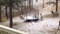 Elk tries out family trampoline
