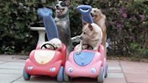 Dogs Pushing Dogs In Cars