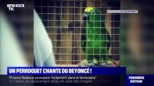 Ce perroquet chante du Beyoncé et devient star du web