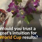 The oracle goat predicts World Cup