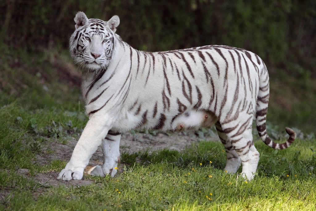 A white tiger, similar to the one pictured fatally attacked its keeper in an El Salvador zoo
