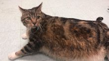 Lasagna the 29-Pound Cat Finds New Home 'Dedicated to Helping Her Get to a Healthy Weight'