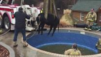 Firefighters Use Wrecker to Rescue Cow Stuck in Swimming Pool