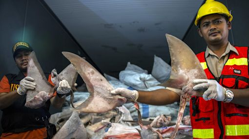 China's Biggest Shipping Line Cosco Promises to Ban Shark Fins