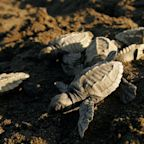 'Miracle of nature': Record number of endangered turtles hatch in Mexico
