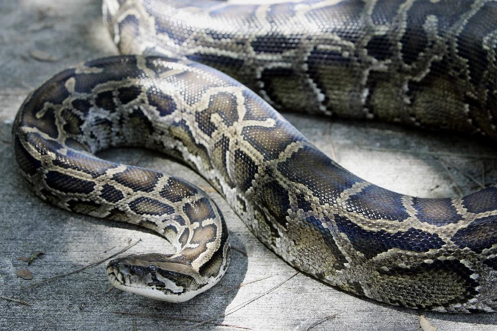 Residents of a village in Indonesia were suspicious that a python had eaten their neighbour so they cut it open and found the woman's body inside, according to the local police chief
