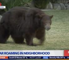 Bear strolling around California city sparks media feeding frenzy