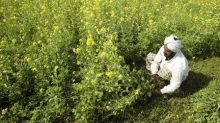 China drops ban on rapeseed meal from India