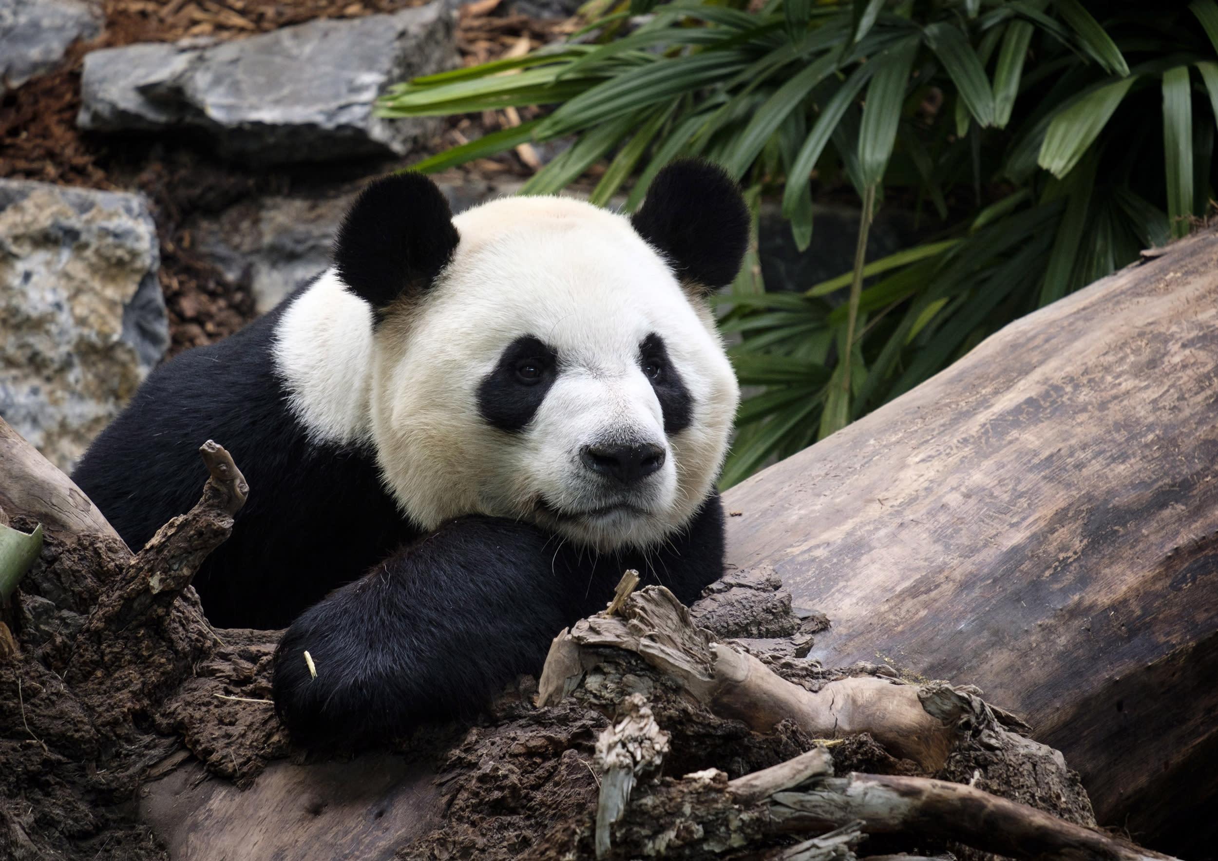 Zoo to return pandas to China because bamboo too hard to get